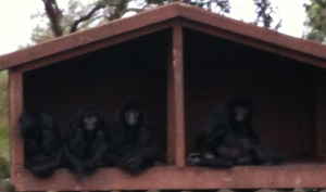 Spider monkeys at Fota Wildlife Park